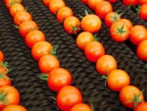 プチトマト選果機用-スプレーノズルの導入でコストダウン